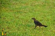 Walking Great-tailed Grackle, Panama City, Panama, bird, Quiscalus mexicanus, grass, lawn, green
