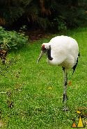 Walking Red-crowned Cranes, Frankfurt, Germany, bird, Grus japonensis, zoo