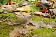 Walking White-tipped Dove, Isla Coiba, Panama, bird, dove, Leptotila verreauxi, moss, leaves