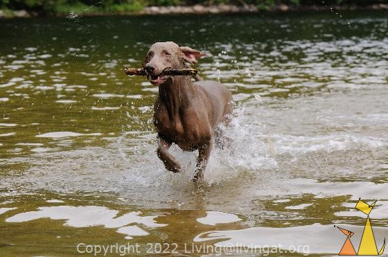 Water fetch, Landet, Sweden, dog, Canis lupus familiaris, Doris, Weimaraner, The Grey Ghost, water, running, stick