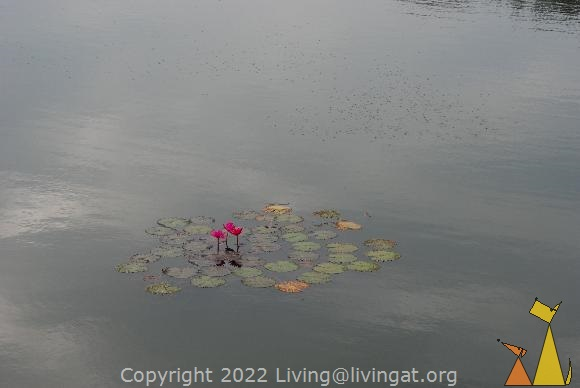 Water lily, Angkor Wat, Siem Reap, Cambodia, plant, moat, India Red Water-lily, Nymphaea rubra