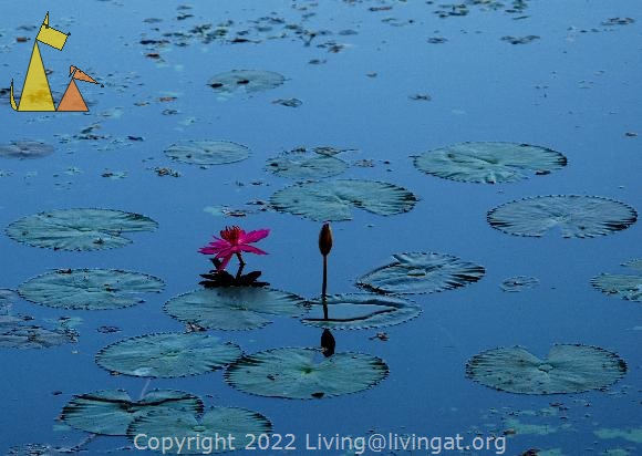 Water lily, Angkor Wat, Siem Reap, Cambodia, plant, water lily, Nymphaea rubra, India Red Water-lily