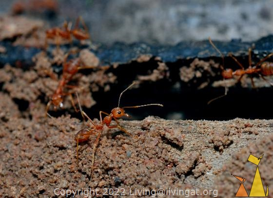 Weaver ant, Angkor Thom Moat, Siem Reap, Cambodia, insect, ant, Red weaver ant, Oecophylla smaragdina