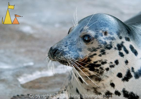 What is that?, Skansen, Stockholm, Sweden, mammal, Halichoerus grypus, Gray Seal, captive
