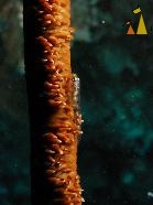 Whip Goby, Malapascua, Philippines, underwater, fish, Whip coral, Whip Goby, Bryaninops yongei