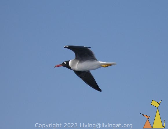 White-eyed gull, Red Sea, Egypt, bird, flying, White-eyed gull, Larus leucophthalmus