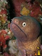 White-eyed moray, Burma, underwater, fish, moray, White-eyed moray, Siderea thyrsoidea, Gymnothorax thyrsoideus