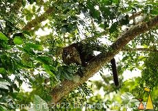 White-nosed, Panama Canal, Panama, mamal, tree, White-nosed coati, Nasua narica