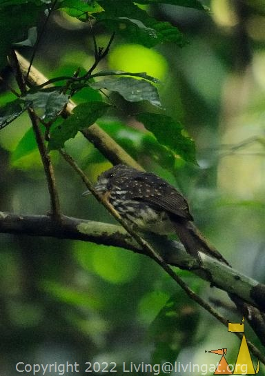 White-whiskered Puffbird, Canopy Tower, Panama, bird, forest, Malacoptila panamensis, tree, dark