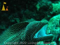 Whitemouth moray, Anakao, Madagascar, Whitemouth moray, Gymnothorax meleagris, Madagascar