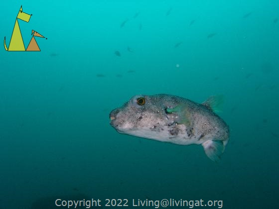 Whitespotted Puffer in the Blue, Isla Coiba, Panama, fish, blue, Arothron hispidus, eye