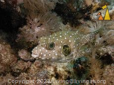 Whitespotted puffer, Malapascua, Philippines, underwater, fish, Whitespotted puffer, Arothron hispidus
