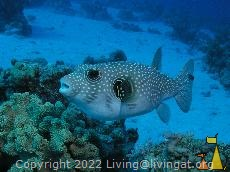 Whitespotted puffer, Red Sea, Egypt, underwater, Whitespoted pufferfish, Arothron hispidus