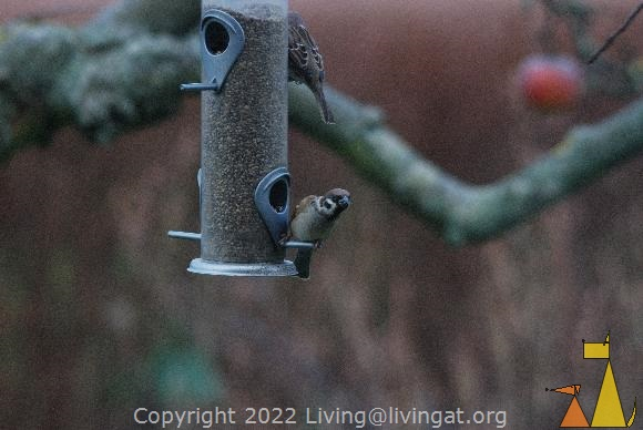 Whos there?, Kristianstad, Sweden, bird, flying, look out, Tree sparrow, Passer montanus