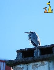 Winter guest, Skansen, Djurgården, Stockholm, bird, Ardea cinerea, Grey heron, chimney