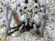 Wolf spider, Tulear, Madagascar, wolf, spider, insect