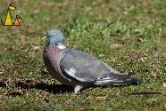 Wood pigeon, Stockholm, Sweden, bird, Wood pigeon, Columba palumbus