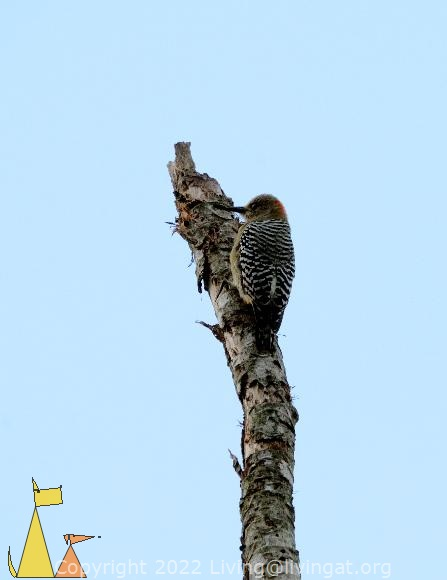 Woodpecker agains Blue sky, Ammo dump, Canal, Panama, bird, Melanerpes rubricapillus Red-crowned Woodpecker