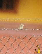 Yellow-bellied Seedeater on Barbed Wire, Boquete, Panama, bird, Sporophila nigricollis, fence, orange, yellow, Barbed wire