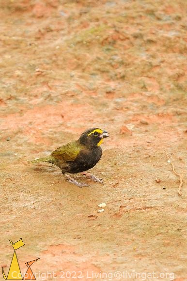 Yellow-faced Grassquit, Isla Coiba, Panama, bird, Tiaris olivaceus, clay
