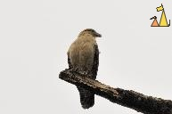 Yellow-headed Caracara Against Overcast Sky, Canopy Tower, Panama, bird, bird of pray, Milvago chimachima, scavenger, overcast