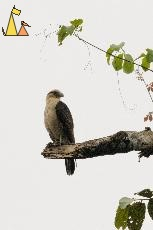 Yellow-headed Caracara, Canopy Tower, Panama, bird, bird of pray, Milvago chimachima, scavenger, overcast