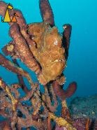 Yellow Frogfish, Isla Coiba, Panama, underwater, fish, Antennarius commerson