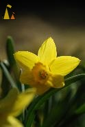 Yellow flower, Sweden, Macro, yellow flower, Narcissus pseudonarcissus, Wild daffodil