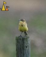 Yellow wagtail, Angarn, Sweden, bird, Yellow wagtail, Motacilla flava