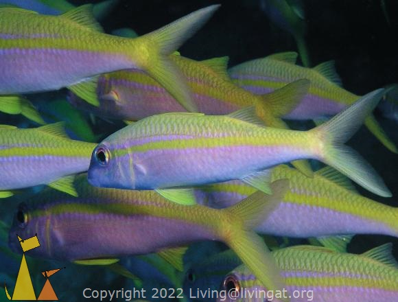 Yellowfin goatfish, Red Sea, Egypt, underwater, fish, Yellowfin goatfish, Mulloides vanicolensis, Mulloidichthys vanicolensis
