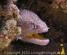 Yellowmouth, Red Sea, Egypt, underwater, fish, Yellowmouth moray, Gymnothorax nudivomer
