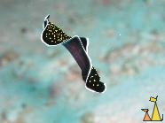 Yellowspot flatworm, Red Sea, Sudan, Yellowspot flatworm, Thysanozoon flavomaculatum, Sudan